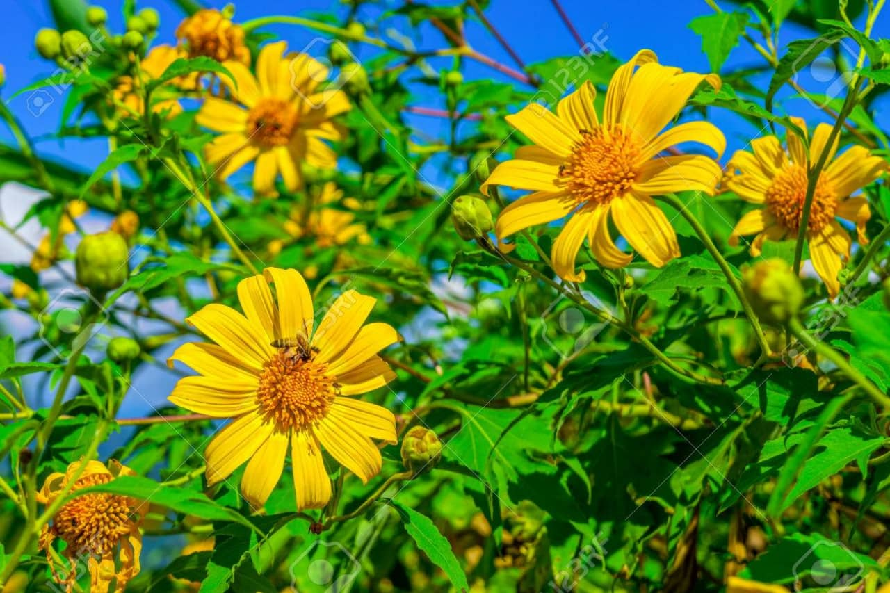 Cánh hoa dã quỳ màu vàng sáng rực, hơi mỏng hướng về phía Mặt trời