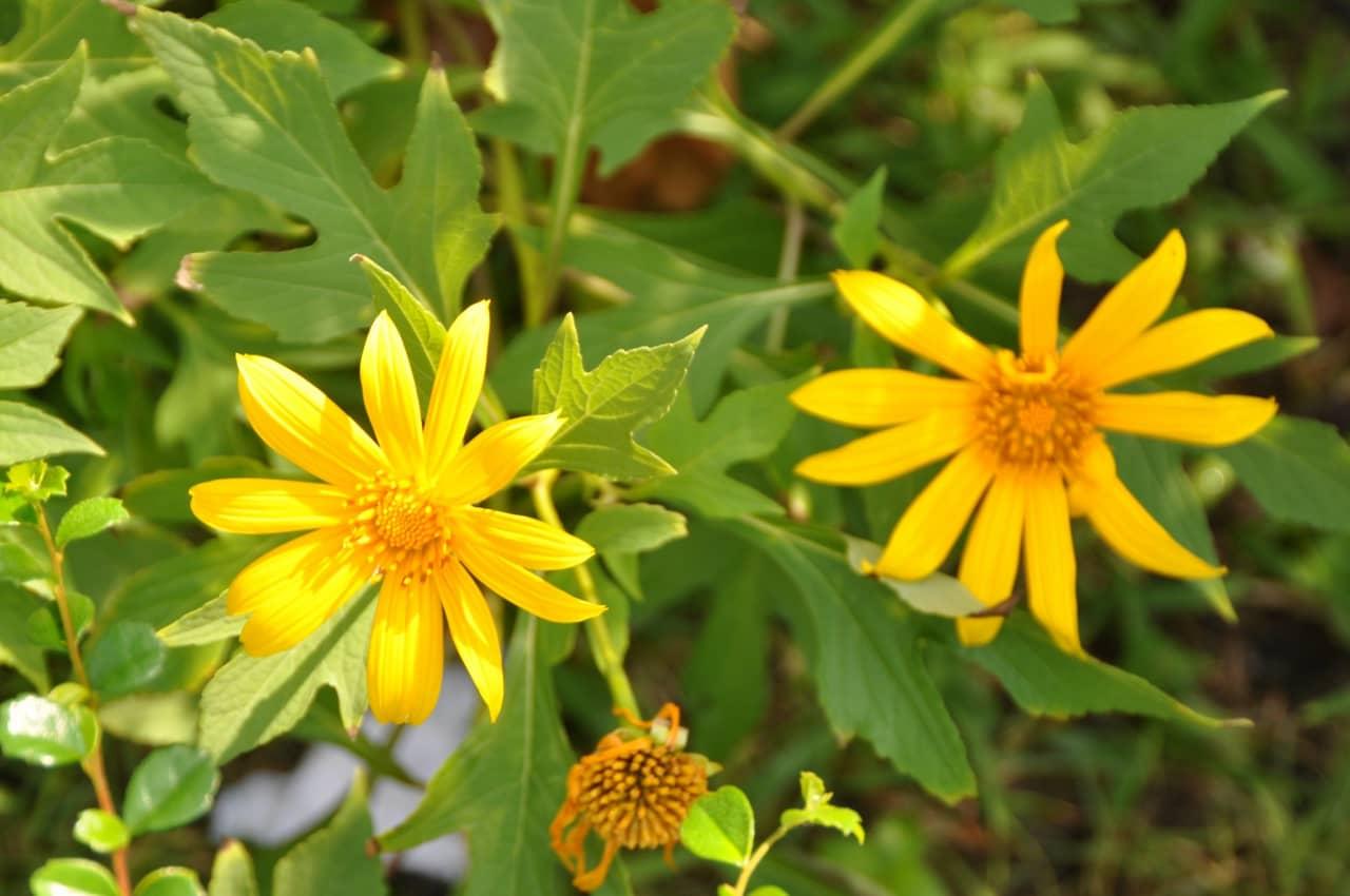 Là một loại hoa đặc trưng của Đà Lạt vào cuối thu đầu đông trong các lễ hội.