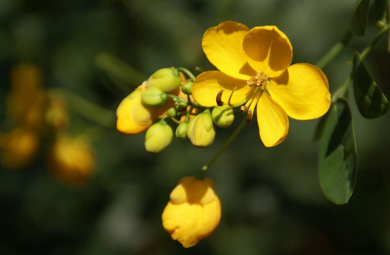 Tìm hiểu nguồn gốc đặc điểm hoa điệp vàng Caesalpinia ferrea