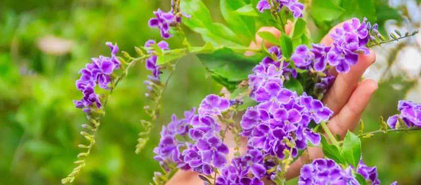 Tìm hiểu nguồn gốc đặc điểm hoa chuỗi ngọc Duranta erecta