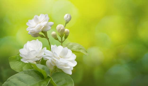 Tìm hiểu nguồn gốc đặc điểm hoa nhài Jasminum