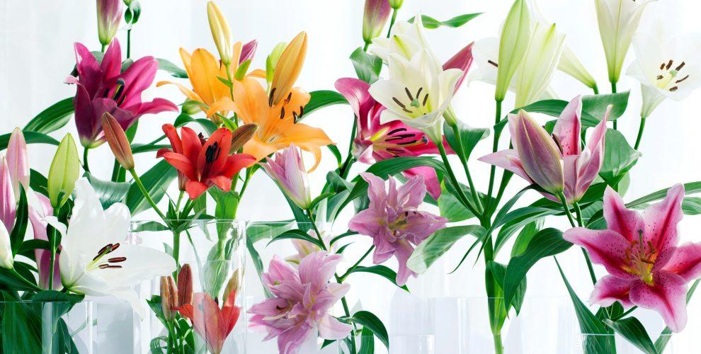 Sự tích hoa lily quyết tâm trao trọn trái tim cho người thương