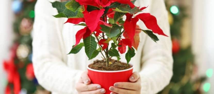 Sự tích hoa trạng nguyên mang điều thần kỳ đến trong Giáng sinh