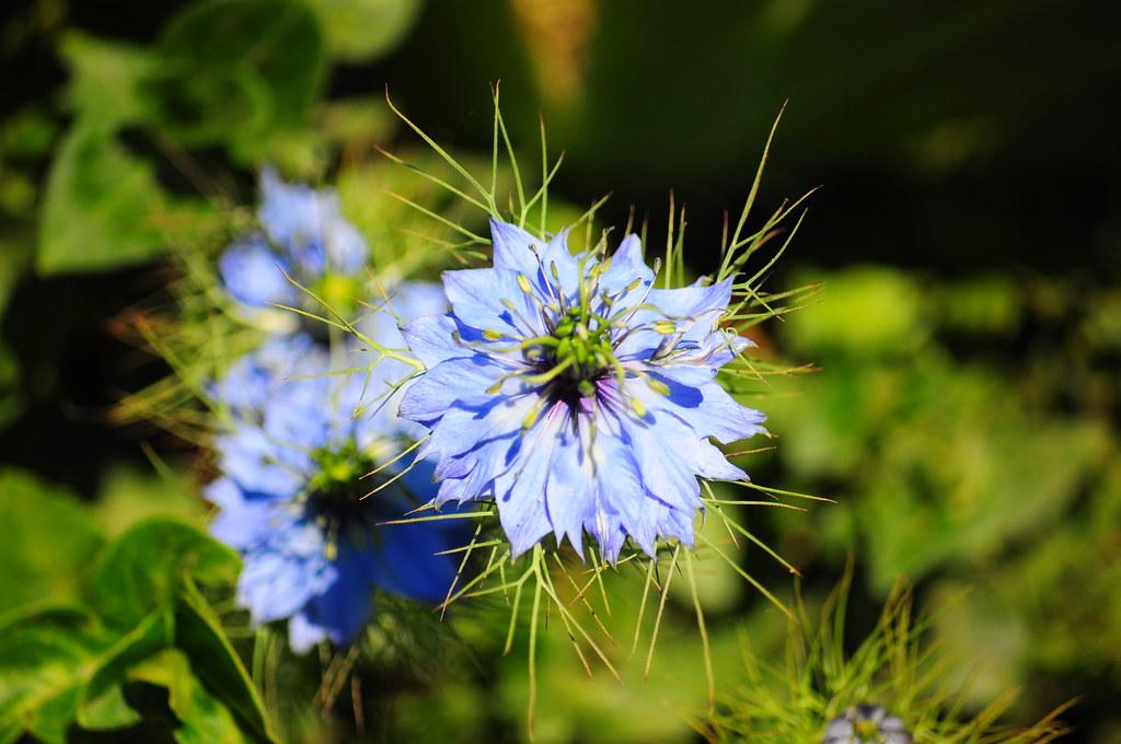 Hướng dẫn cách trồng hoa kim cương bằng cách gieo hạt