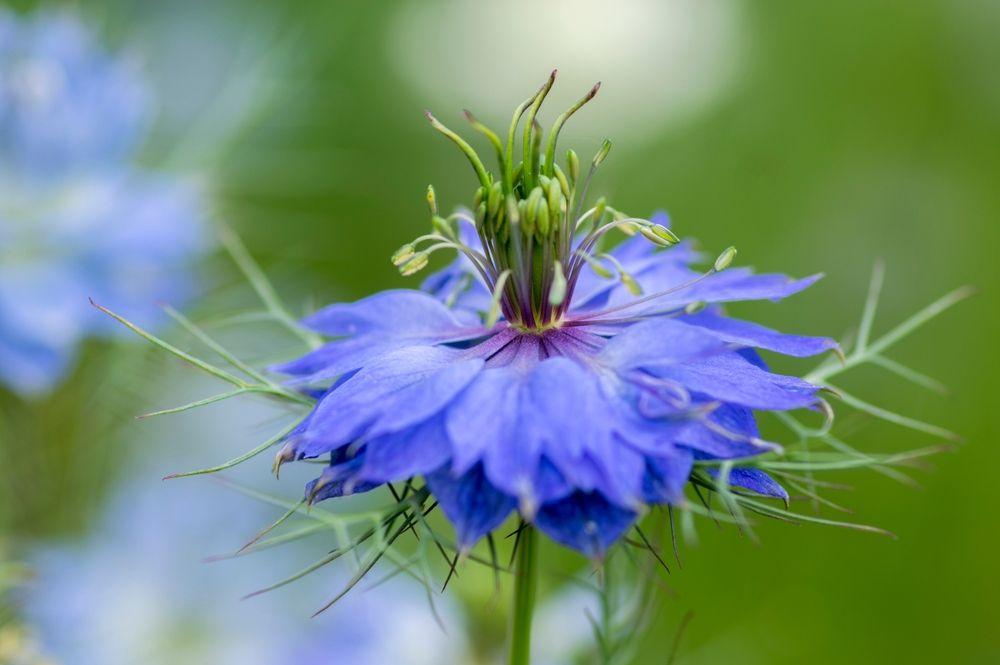 Cây bắt đầu ra hoa sau khoảng 3 tháng gieo trồng. Câyhoa kim cươngtrưởng thành sẽ cao từ 30 đến 40 cm
