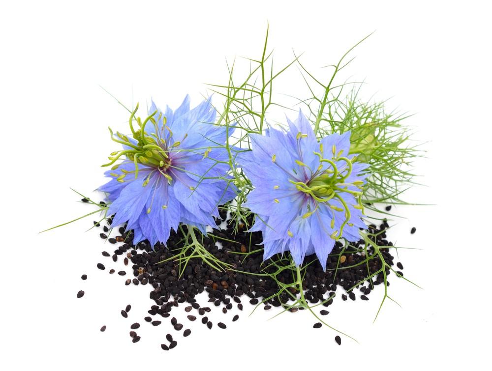 Khi hoa tàn bông khô bạn nên thu hoạch và đem tách hạt đem bảo quản thật kỹ lưỡng để đem trồng cho vụ sau