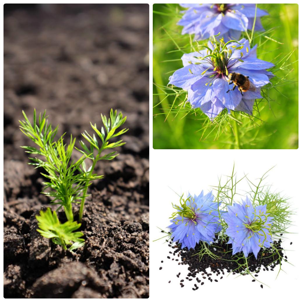 - Bước 3: Thực hiện gieo hạt trồng hoa kim cương