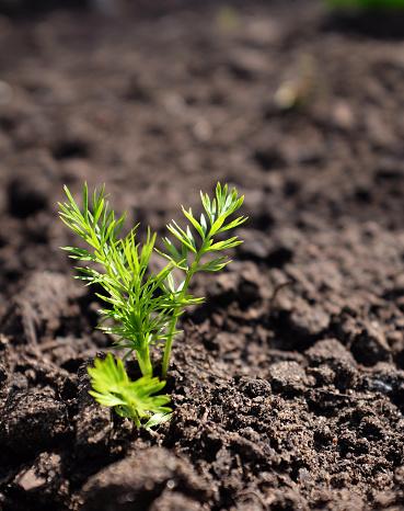 Đất mùn có độ pH từ 6 đến 7. Đất trồng có thể bổ sung thêm nhiều chất dinh dưỡng như đất tribat, đất thịt trộn với xơ dừa.