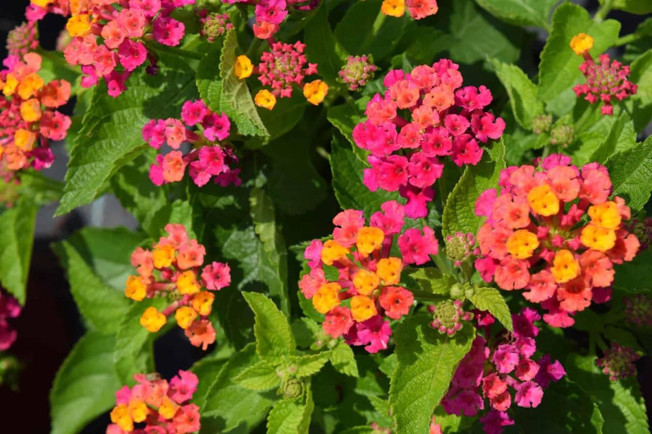 Chi tiết các bước trồng hoa ngũ sắc bằng phương pháp giâm cành
