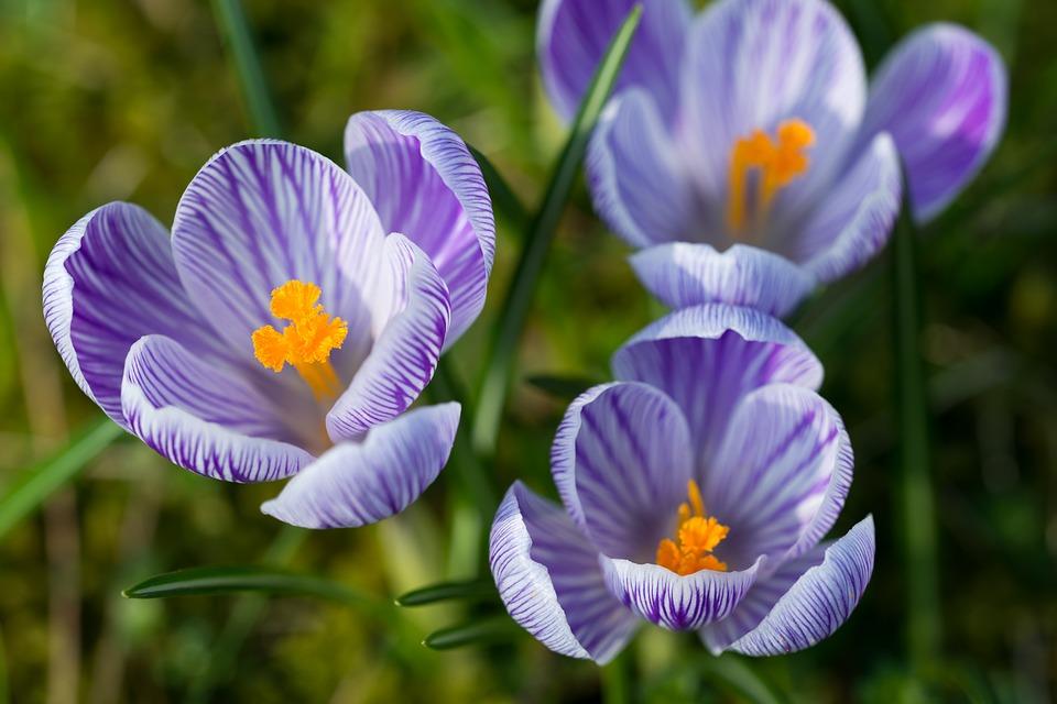 Nghệ tây hay còn được gọi là saffron dùng để lấy nhụy làm gia vị