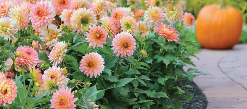Cách trồng hoa thược dược bằng phương pháp gieo hạt