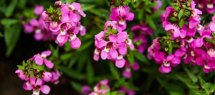 Ý nghĩa hoa ngọc hân hiện thân của vẻ đẹp hài hòa
