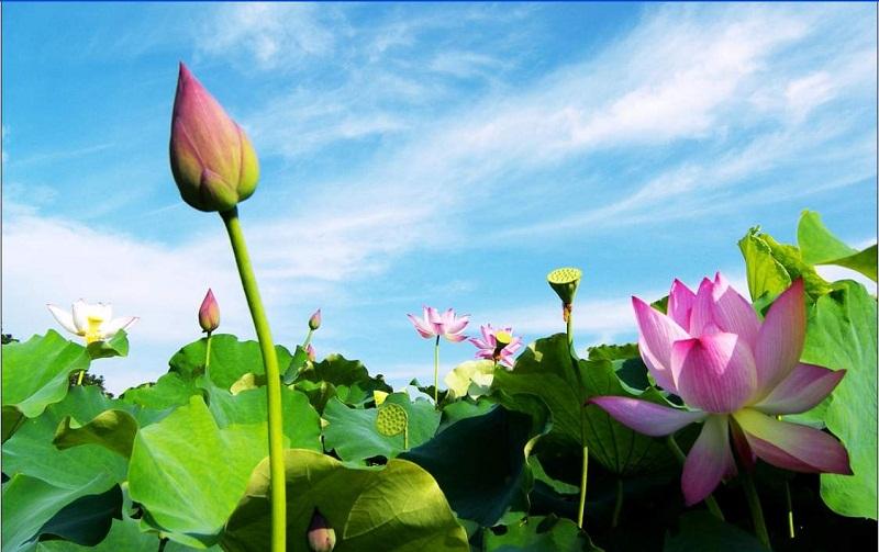 Phong thủy Hoa sen và lưu ý khi cắm hoa sen trên ban thờ