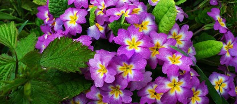 Tìm hiểu về hoa báo xuân Primula malacoides