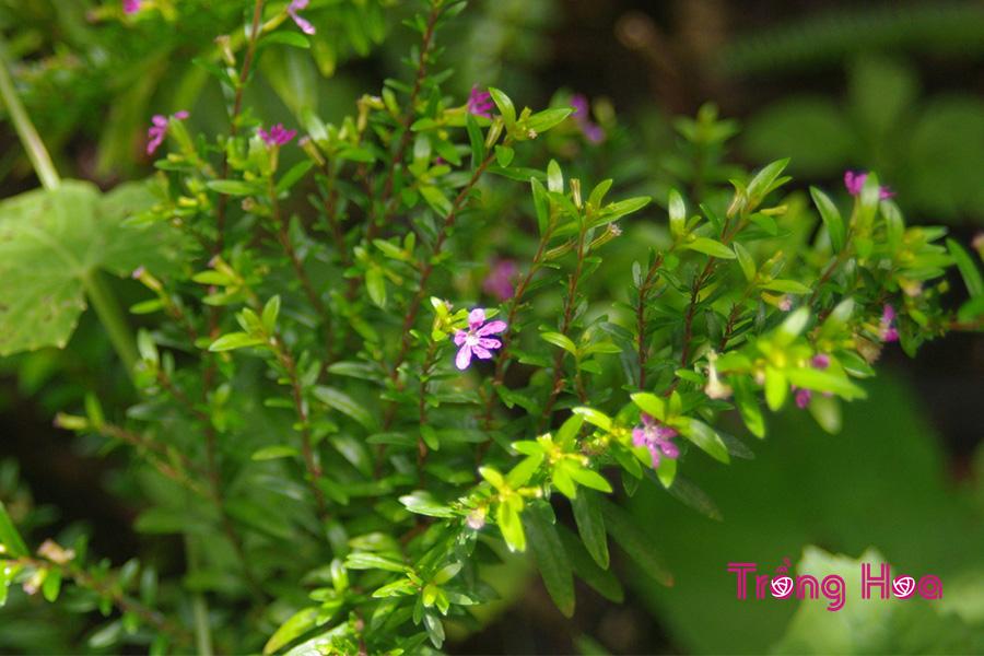 Tìm hiểu về hoa cẩm tú mai Cuphea hyssopifolia