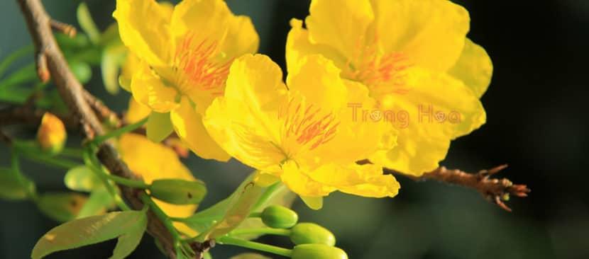 Tìm hiểu đặc điểm hoa mai vàng Ochna integerrima
