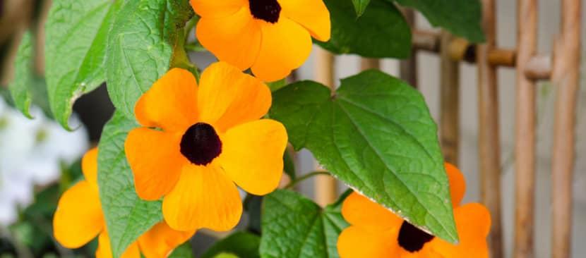 Đặc điểm hoa mắt huyền Thunbergia alata