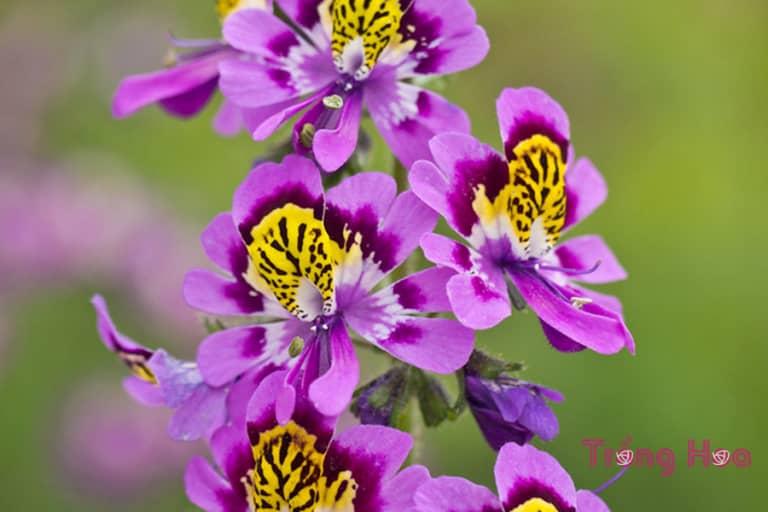 Tìm hiểu về hoa nga điệp Schizanthus