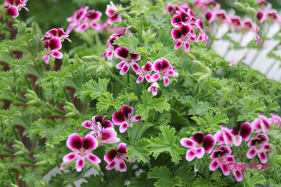 Hoa phong lữ hồng (Thiên trúc quỳ) Pelargonium