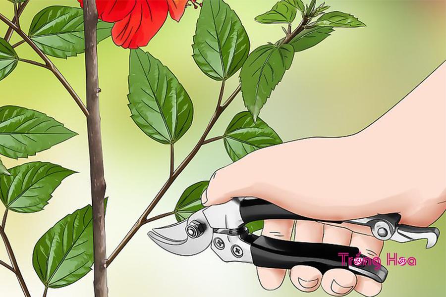 Nhân giống hoa dâm bụt bằng phương pháp giâm cành
