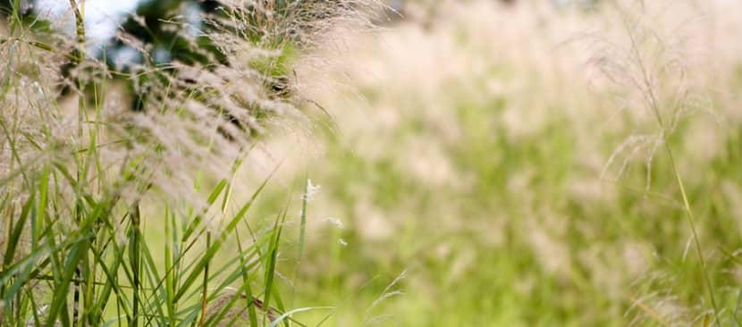 Sự tích hoa cỏ may về một tình yêu chân tình