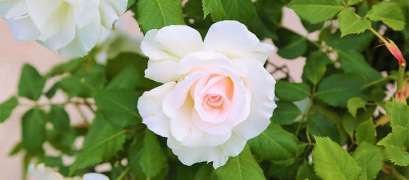 Sự tích hoa hồng trắng về một tình yêu vĩnh cửu