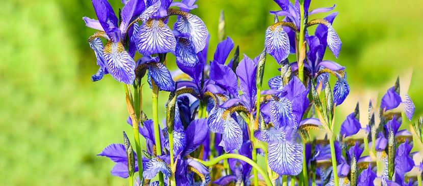 Mách bạn bí kíp tách củ trồng hoa diên vĩ