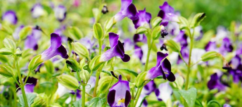 Làm nổi bật ban công bằng cách trồng hoa mắt nai