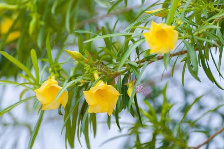 Các bước trồng hoa thông thiên hiệu quả ngay tại nhà