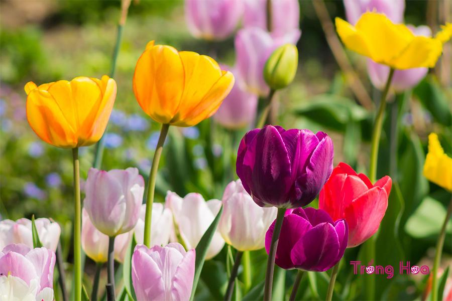 Các bước gieo hạt hoa tulip