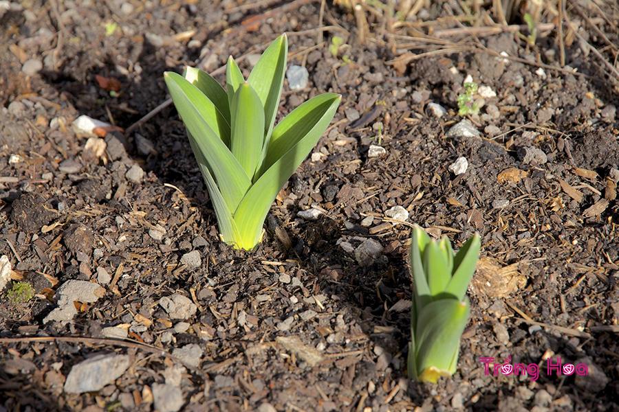 Các bước gieo hạt trồng hoa tulip