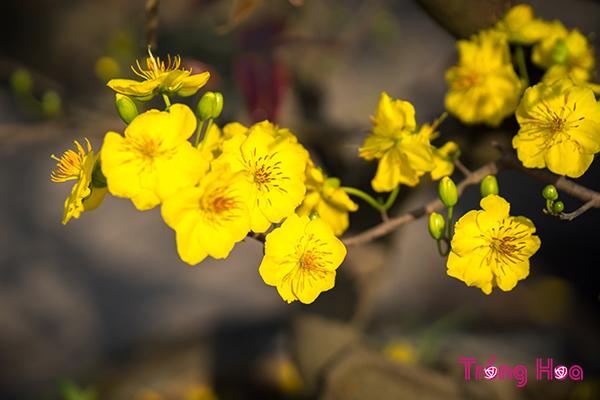 Vì sao người miền Nam lại trưng hoa Mai vàng ngày Tết?