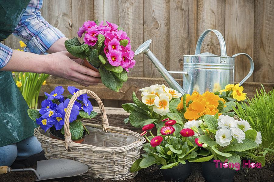 Hướng dẫn cách trồng hoa báo xuân