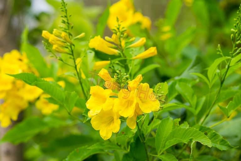 Ý nghĩa hoa huỳnh liên làm sạch không khí;
