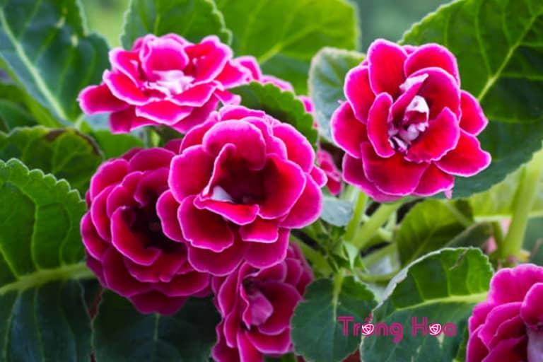 Hoa tử la lan có ý nghĩa như nào trong ngày Valentine
