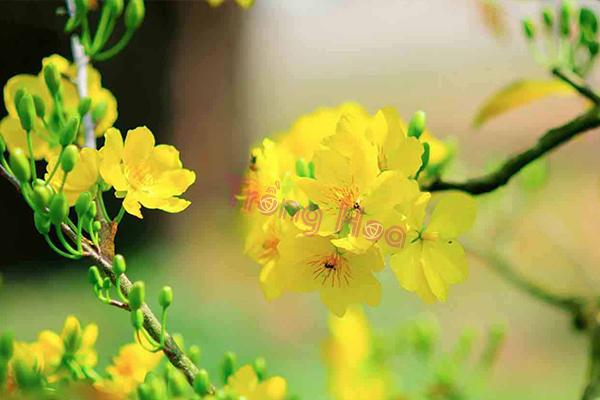 Không chọn hoa mai theo cách này, bạn sẽ không có hoa đẹp trưng tết