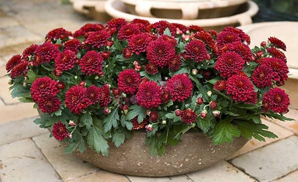 Tuyệt chiêu chọn và giữ hoa Cúc tươi lâu suốt 9 ngày Tết