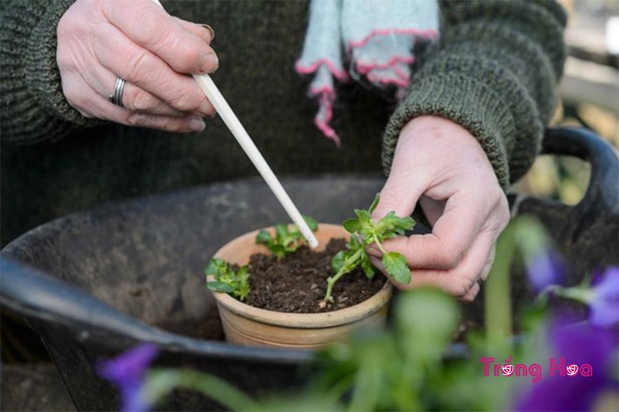 Các bước cắt cành giâm hoa pansy