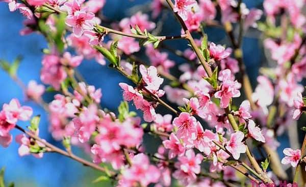 Độc chiêu gia quyền giúp thúc, hãm hoa nở đúng dịp Tết