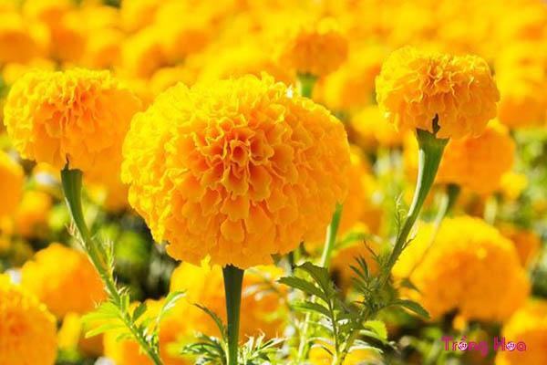 Ý nghĩa màu sắc hoa tặng mẹ ngày lễ Vu lan báo hiếu