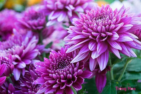 Loại hoa nào tượng trưng cho tình bạn vĩnh cửu, bền chặt?