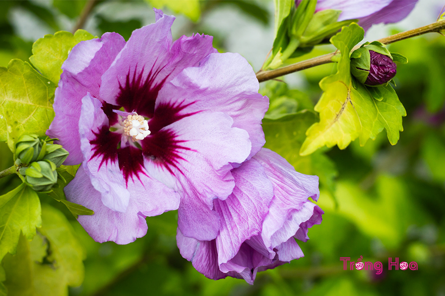 Bụp hồng cận (Hoa hồng Sharon) - Hibiscus syriacus