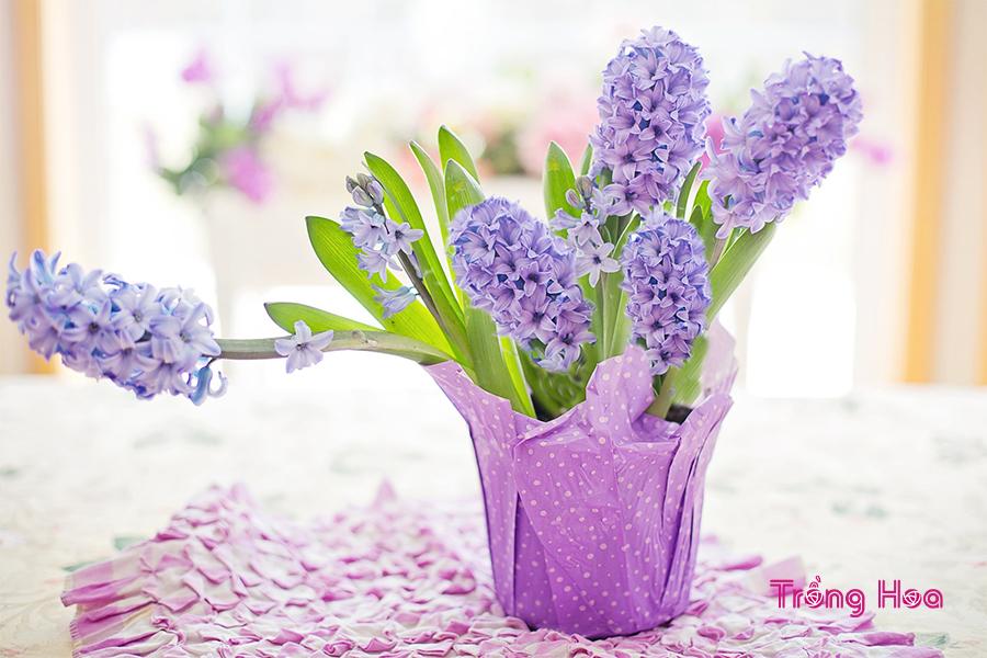 Hoa dạ lan hương tím đẹp nổi bật