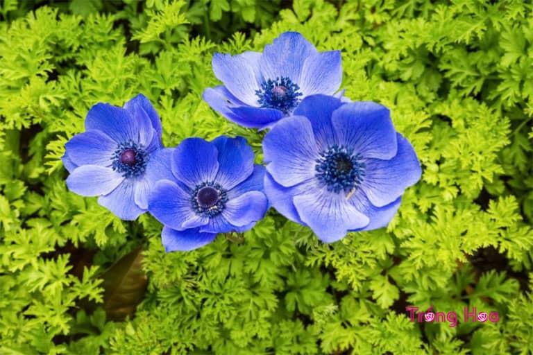 Đặc điểm hoa hải quỳ Anemone coronaria