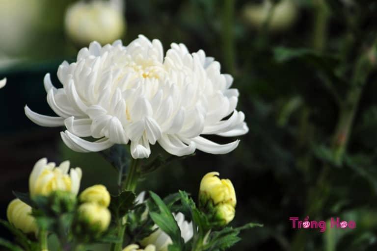 Sự tích hoa cúc trắng về lòng hiếu thảo