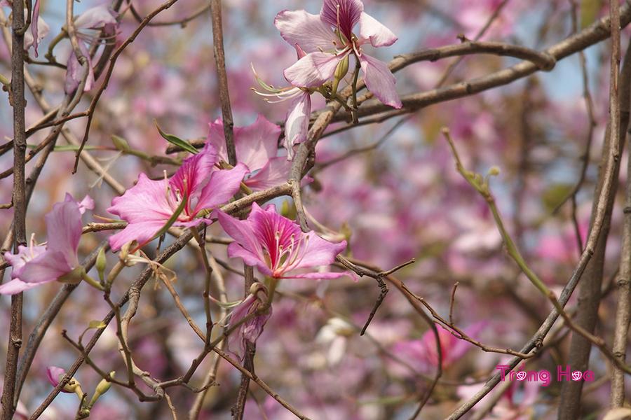 Ý nghĩa hoa ban biểu tượng của sự chân thành;