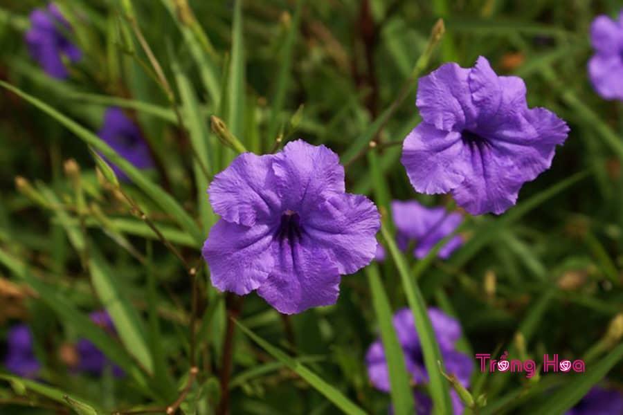 Ý nghĩa hoa chiều tím cỏ nổ làm đẹp cảnh quan