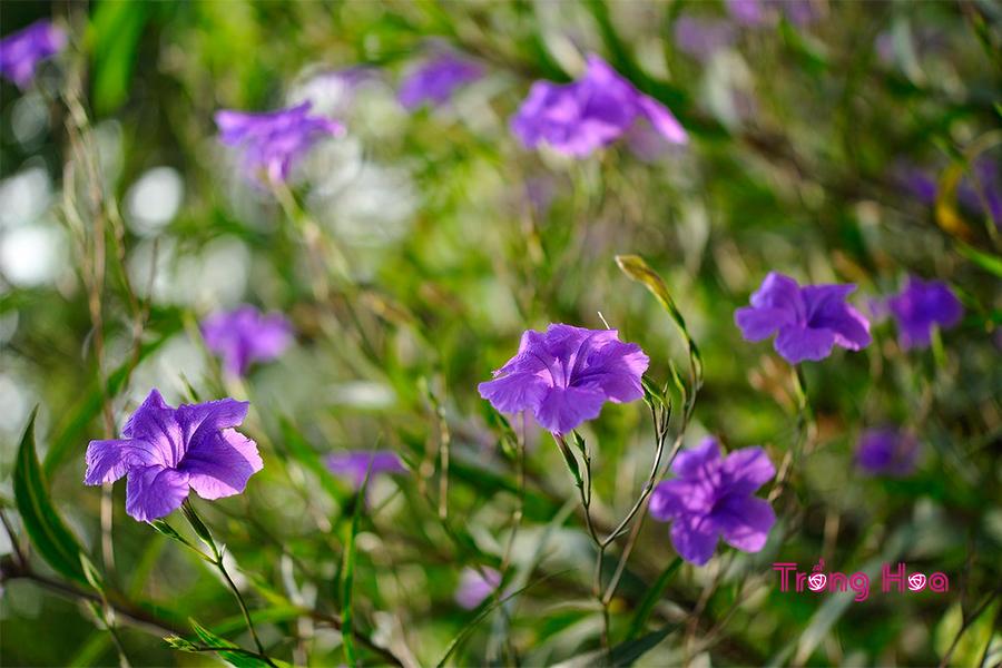 Ý nghĩa hoa cỏ nổ làm đẹp cảnh quan