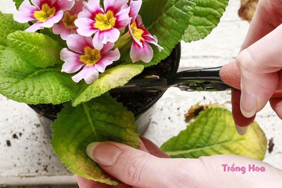 Phương pháp cắt tỉa hoa báo xuân đón Tết về