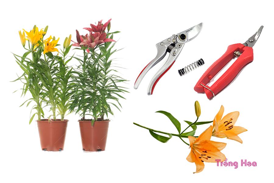 Phương pháp cắt tỉa hoa ly nở đẹp ngày Tết đến